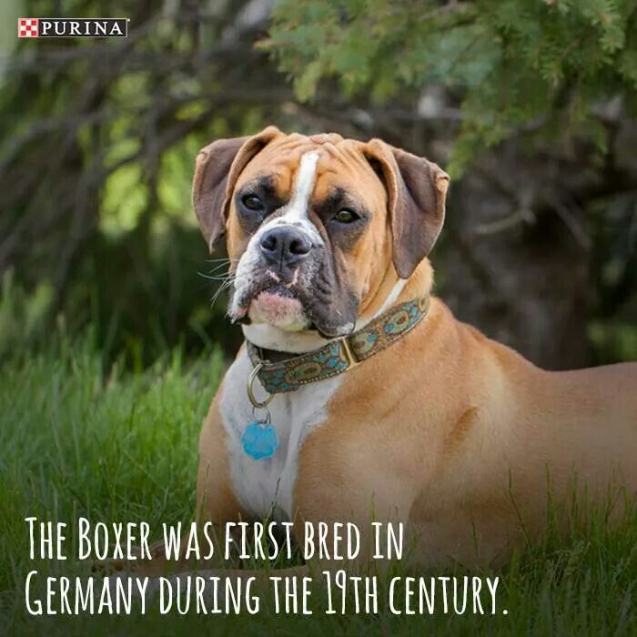 Pin By Squirrel Ortiz On Chata Dog Breeds Boxer Dog Breed Boxer Dogs