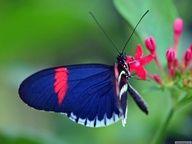 blue with pink streak ❦.Butterfly ❦