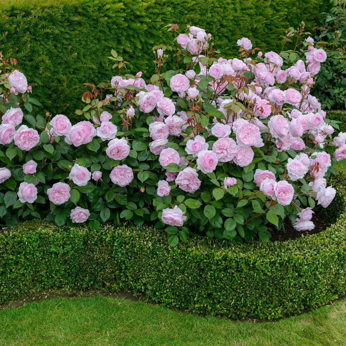 english rose  u0026 39 olivia rose austin u0026 39