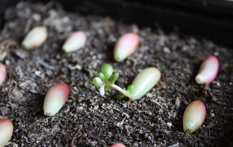 La Propagation De Plantes Grasses Ou Comment Bouturer Vos