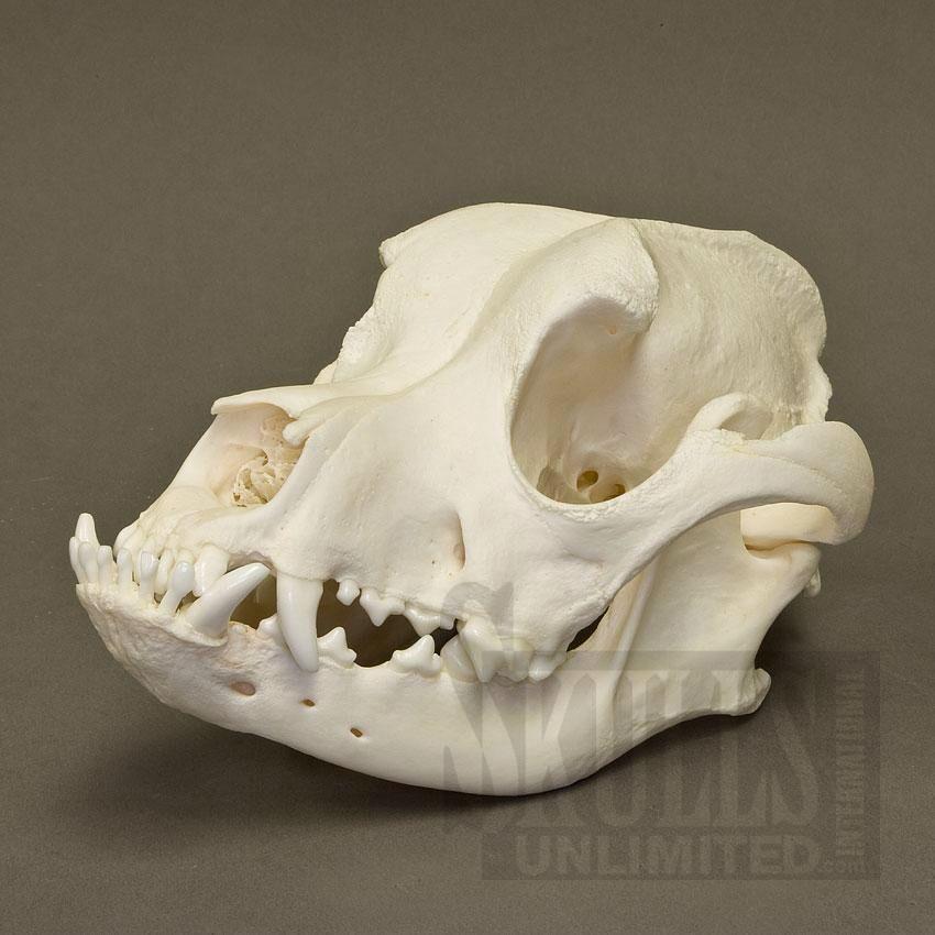 Boxer Skull Dog Skull Domestic Dog Animal Skulls
