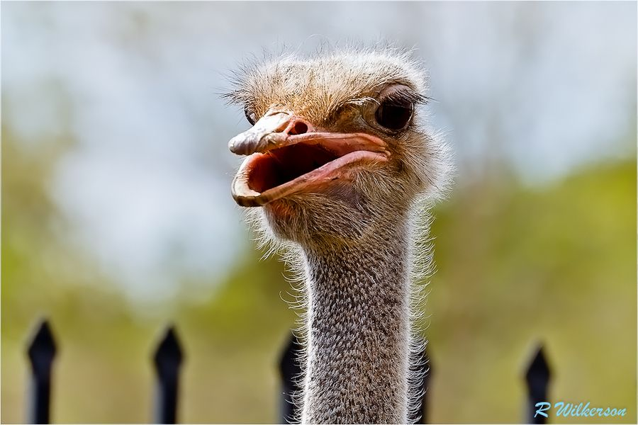 Ostrich  #500px #photog #photo #birds