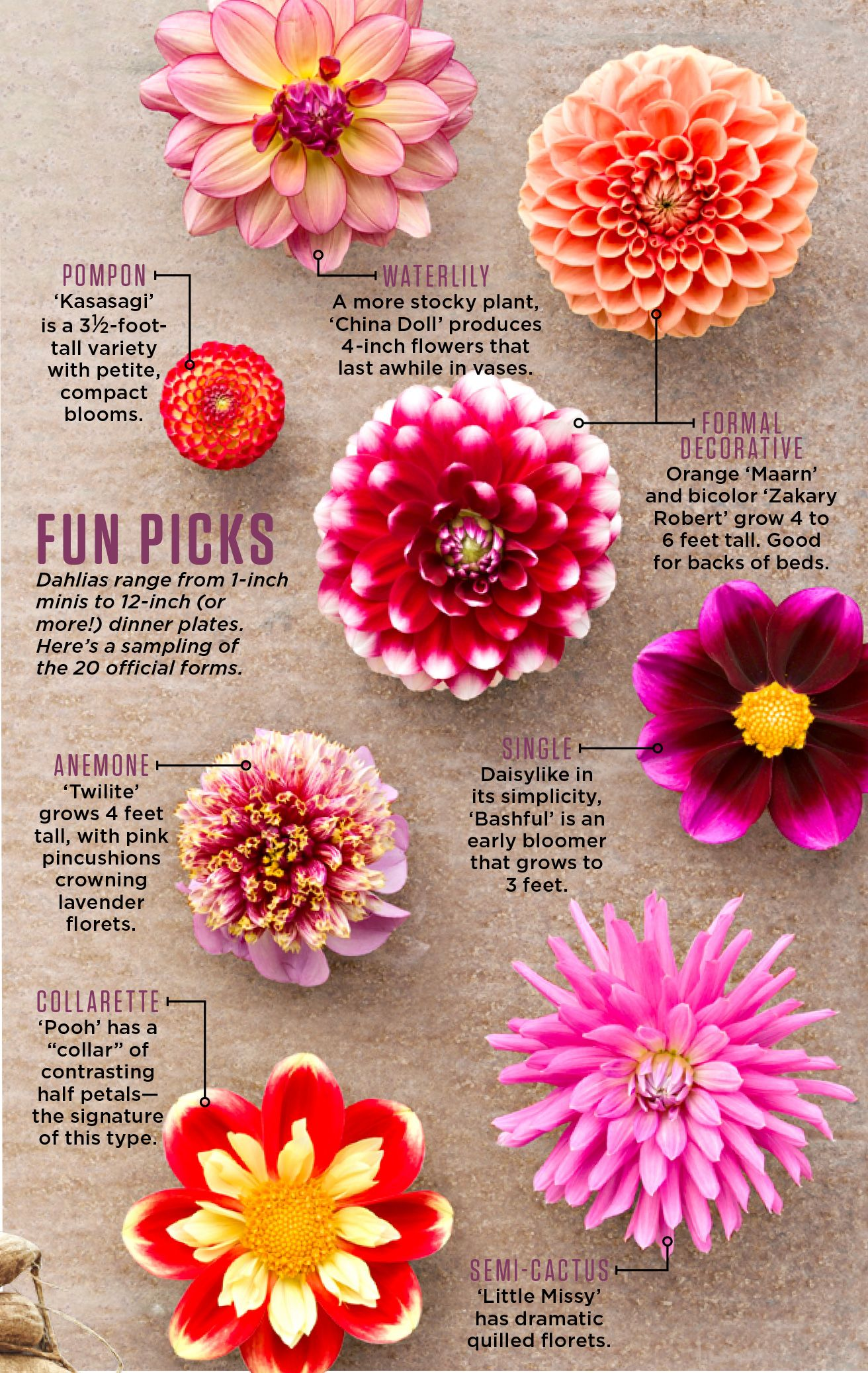 Available in thousands (really) of variations, dahlias bloom well into fall—and with just a little post-frost work, can survive for an encore come spring.