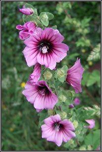 Irish Wildflowers - Tree-mallow