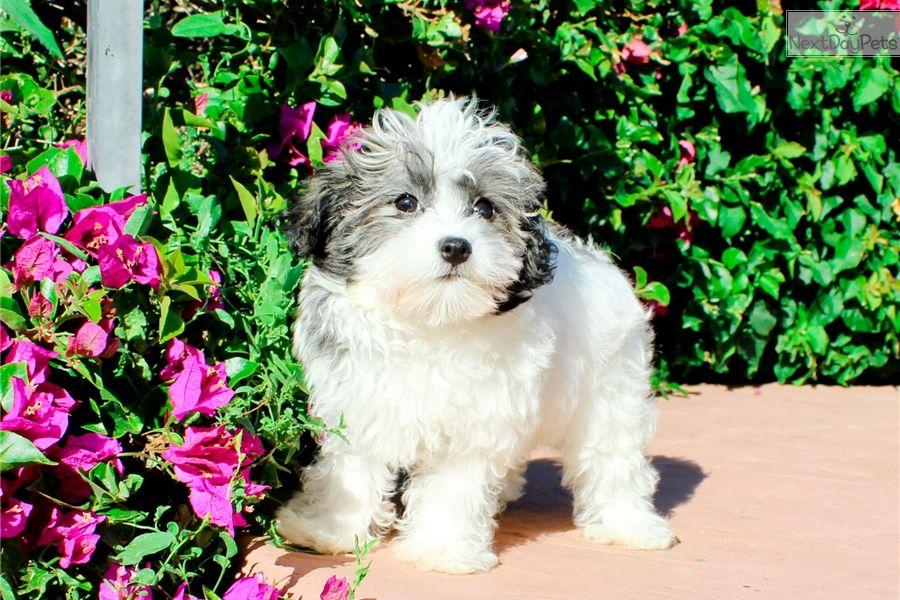 Havanese Puppy For Sale Near Los Angeles California 70d509e5 5d51 Havanese Puppies For Sale Havanese Puppies Havanese