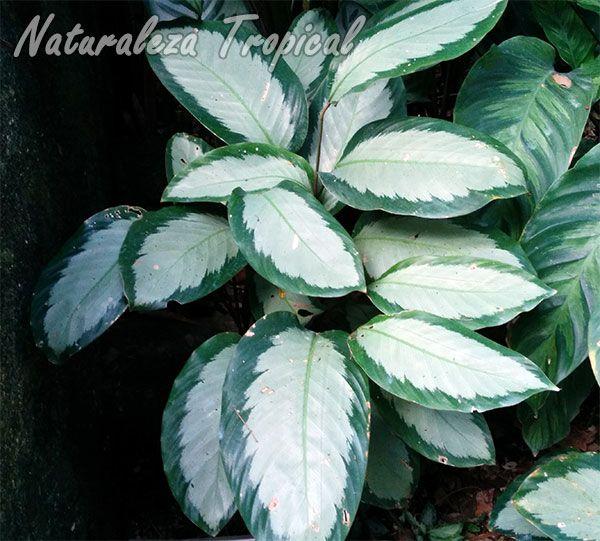 Planta con hojas preciosas del género Calathea | Flores hermosas ...
