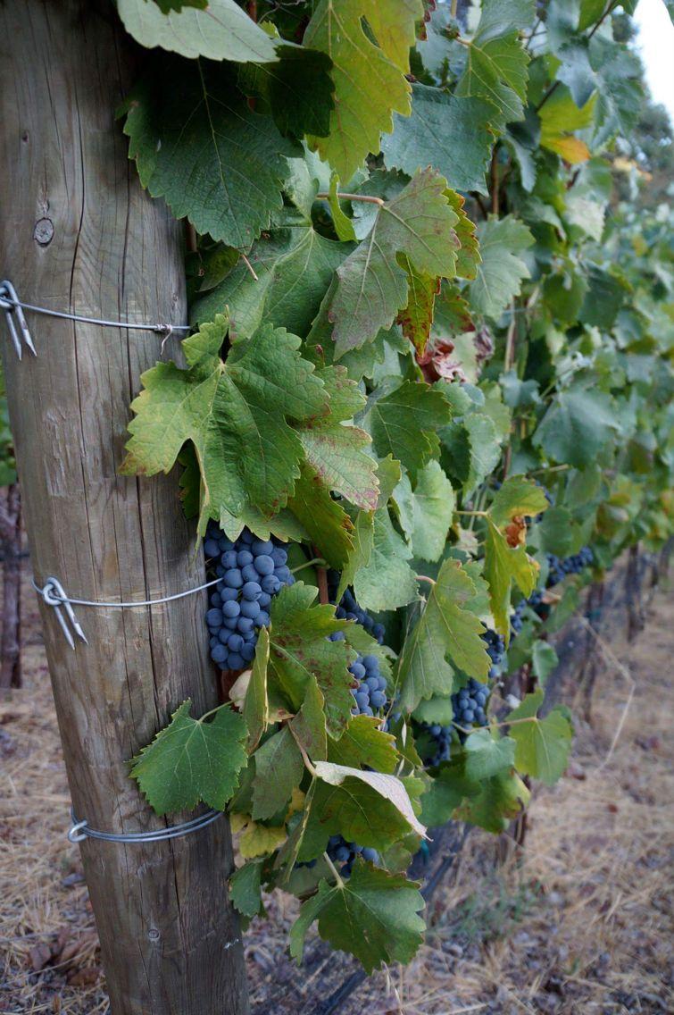Sonoma, CA (Tres Mijas vineyard)