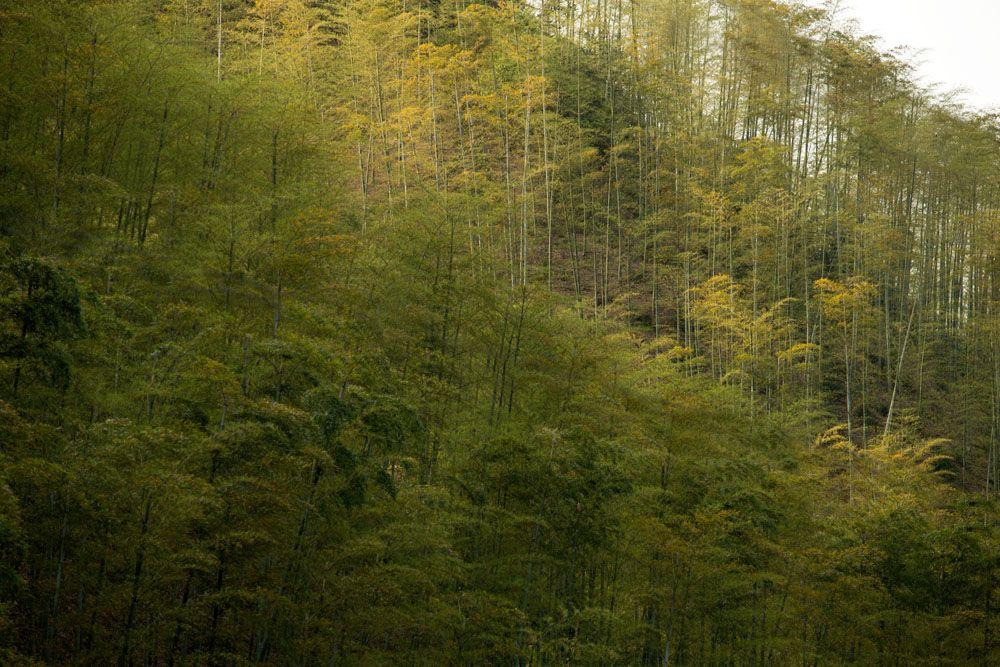 Bamboo Forest - Alila Anji - Zhejiang China   Zhejiang ...