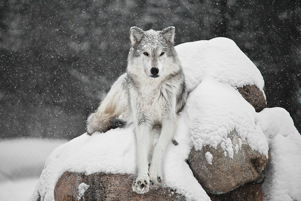 Colorado Wolf.