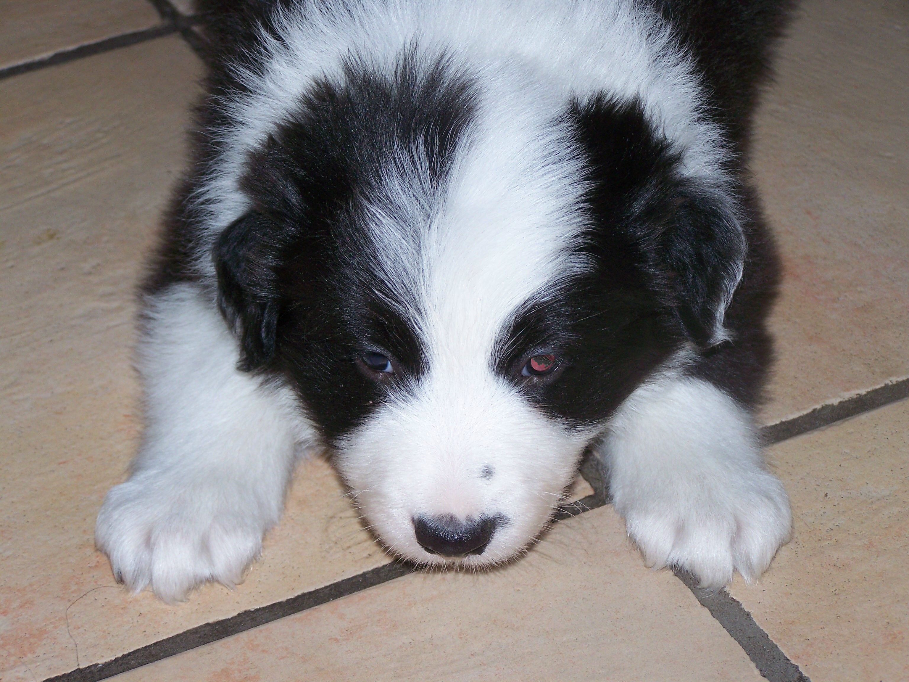 black and white fluffy puppy wwwpixsharkcom images