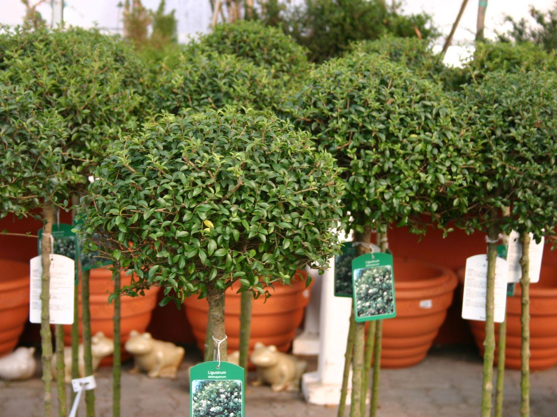 Kugel Liguster Ligustrum delavayanum Pflanzen