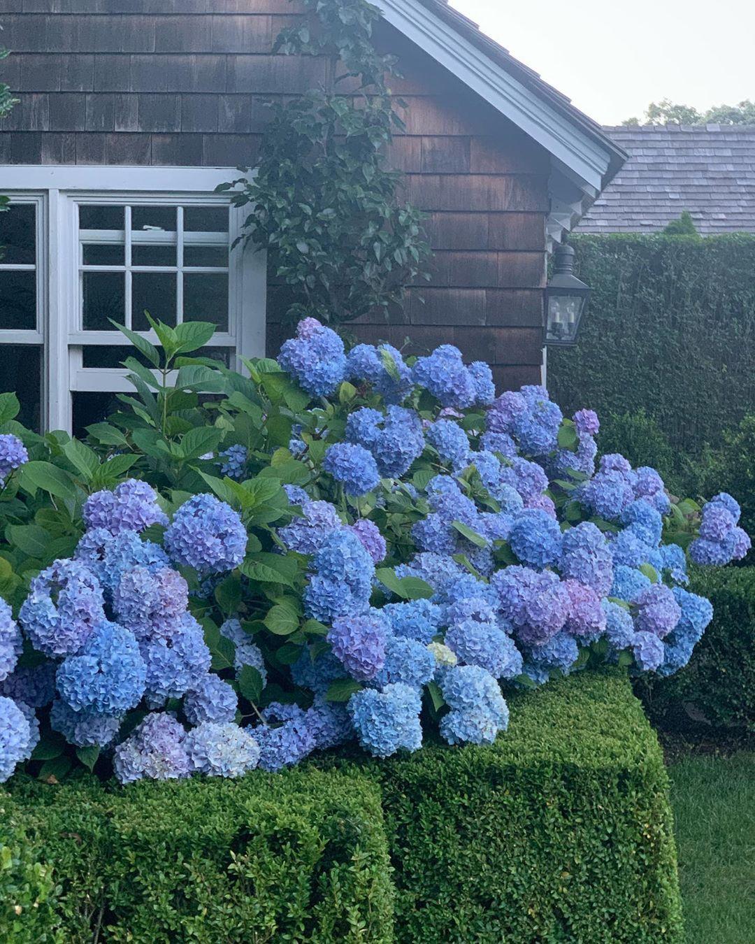 Gregory Shano S Instagram Photo Hydrangea Heaven Hamptons Easthampton Hydrangeas Home In 2020 Hydrangea Instagram Instagram Photo