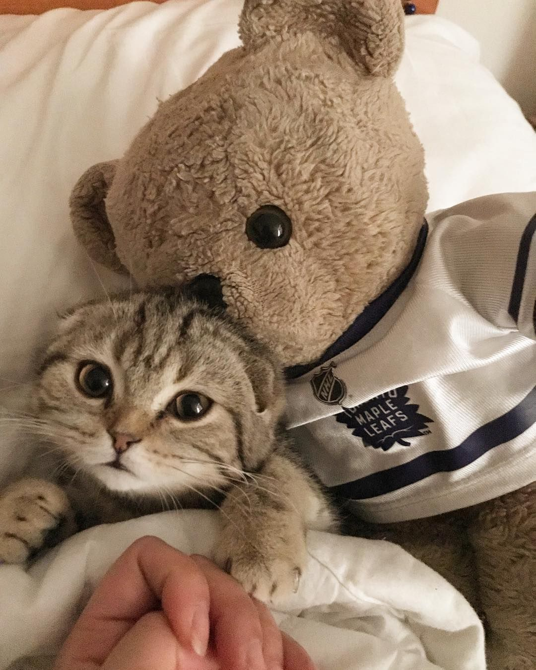 Bed Time Cuddles With My Big Brother Ted Ilovescottishfold Scottishfoldkitten Scottishfolddaily Scottishfoldcats Scott In 2020 Cat Scottish Fold Cuddling Bedtime