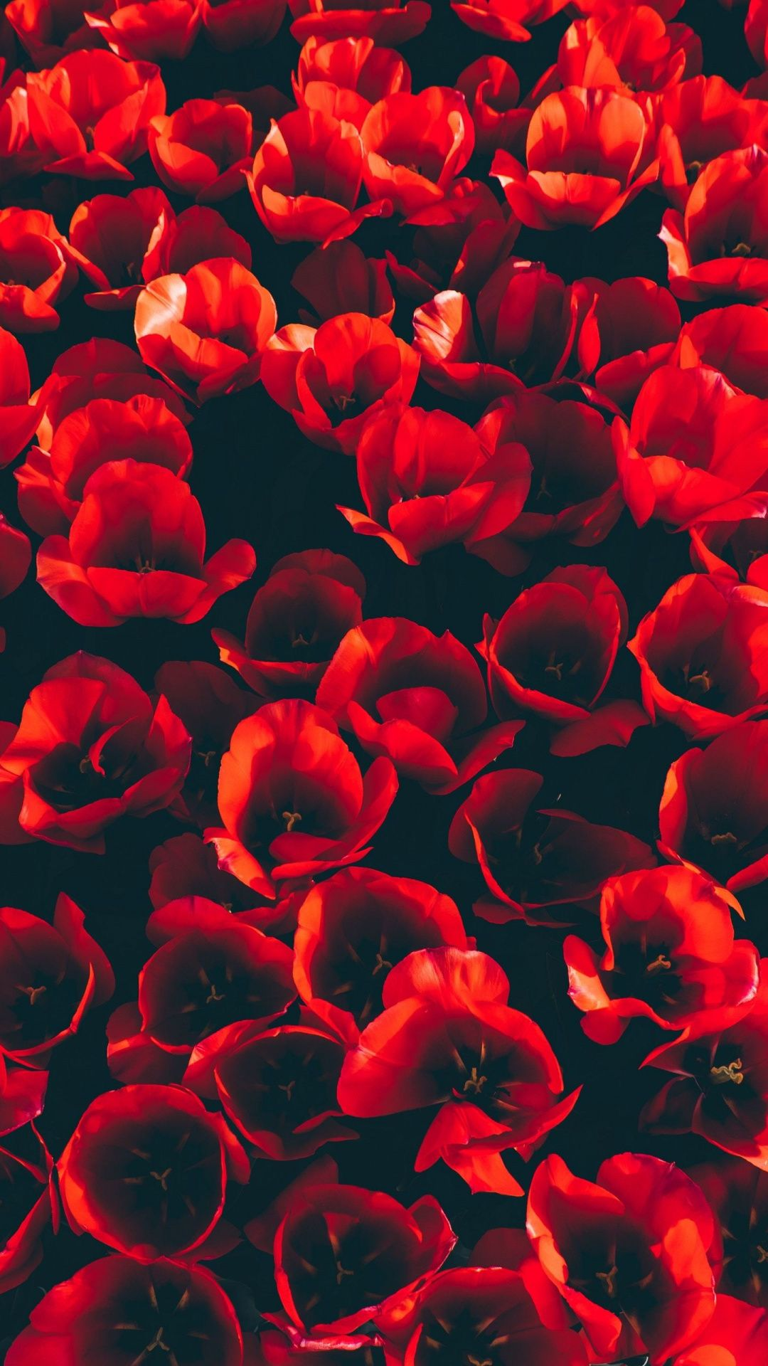 Tulips Flowers Red Decorative 1080x1920 Wallpaper Red Flower Wallpaper Flower Wallpaper Flower Background Wallpaper