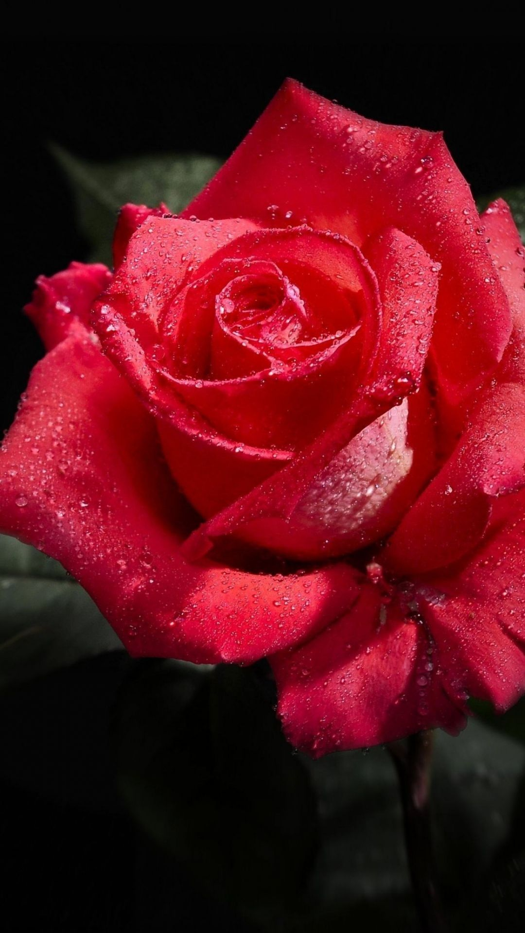 Rose black background flowers beautiful roses pinterest rose black background flowers izmirmasajfo