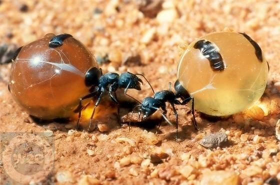 Honey ants are force fed honey by other ants in the colony until ...