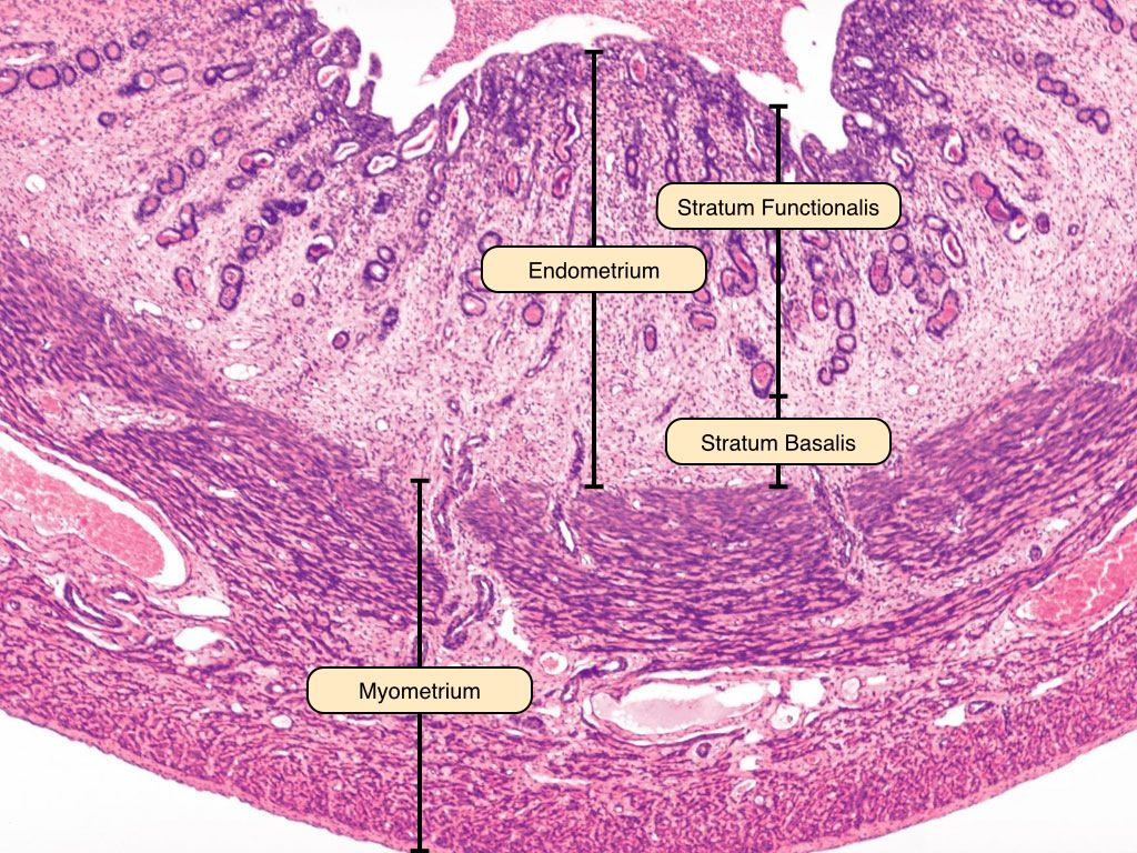 uterus histology slides reproductive system