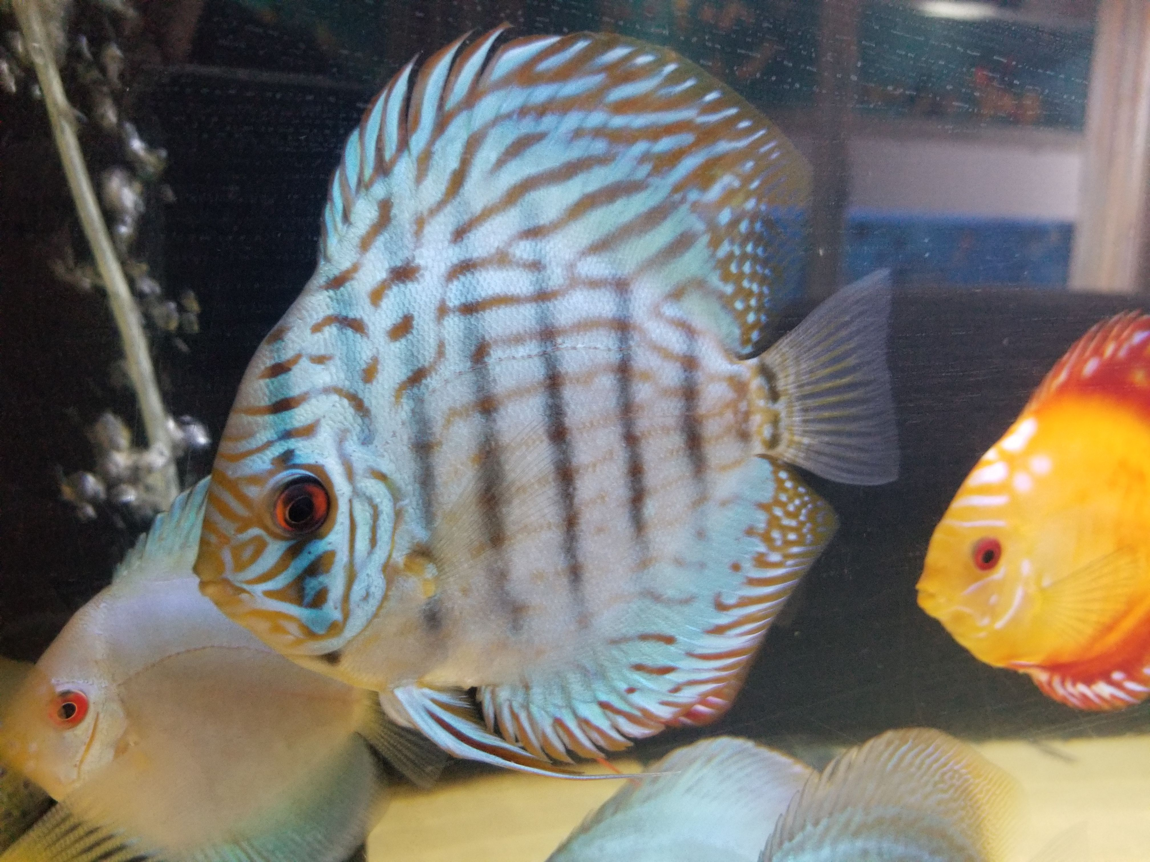 Pin By Discus Fish Store On Discus Fish Selection Discus Fish Tropical Fish Store Fish