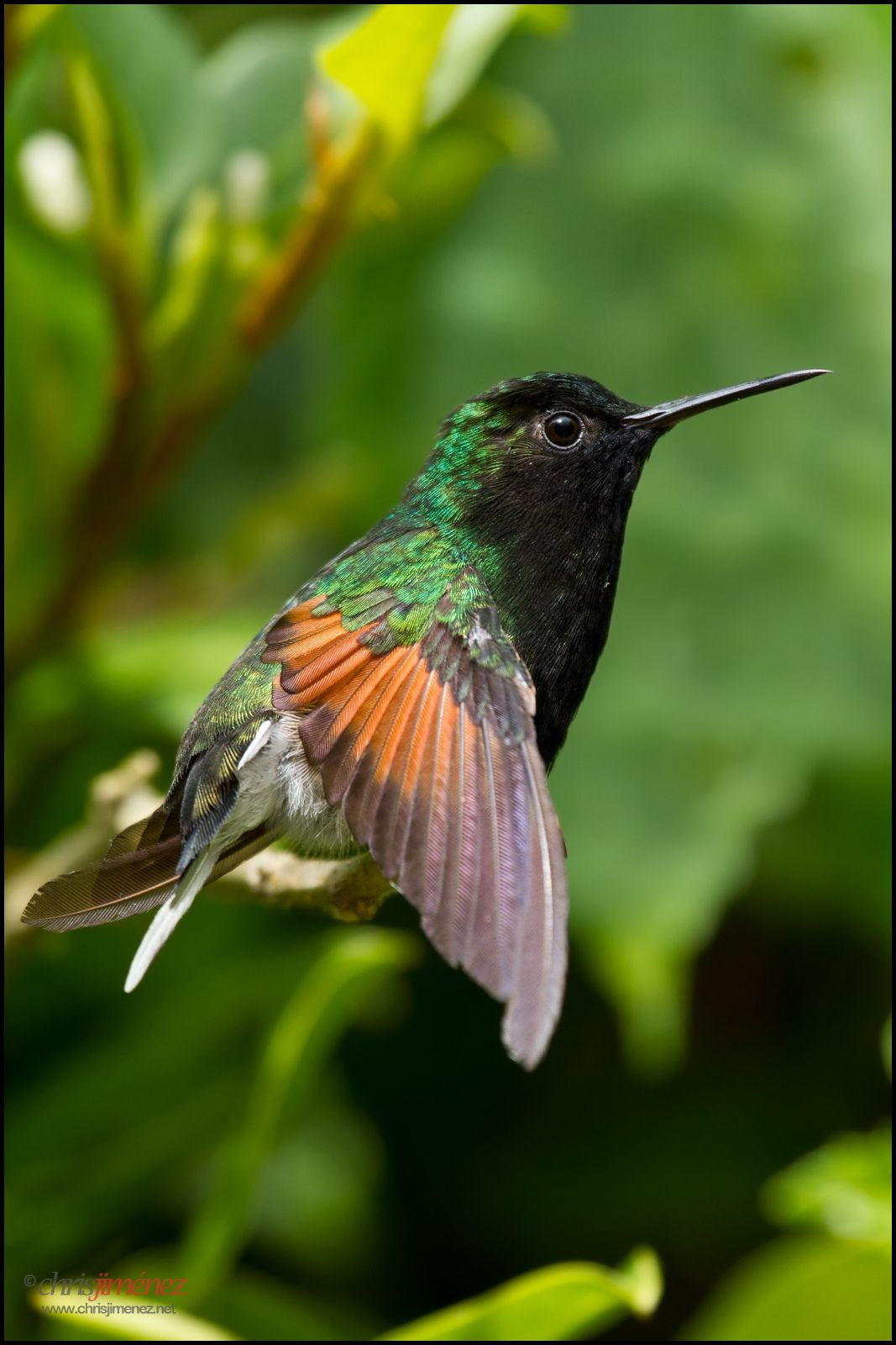 Blackbellied Hummingbird Hummingbird, Hummingbird