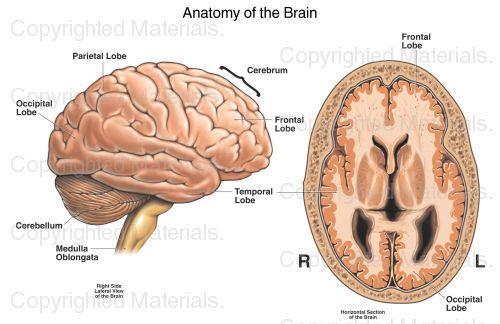 Anatomy of the Brain : Medical Chart   BIOLOGY   Pinterest   Anatomy ...
