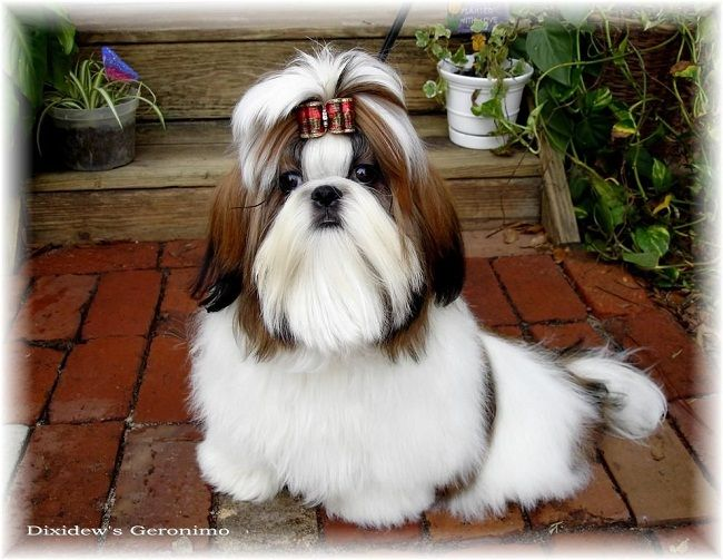 Shih Tzu Puppies For Sale Female Zoe Fans Blog Shih Tzu Puppy Shih Tzu Puppies For Sale