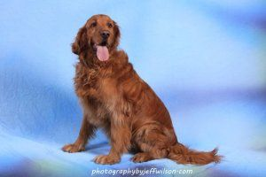 Adopt George On Dogs Golden Retriever Dogs Dog Cat