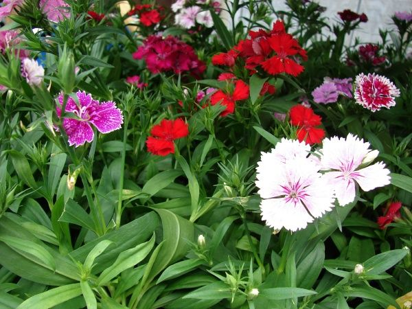 Dianthus Barbatus Sweet William Biennial May Self Sow Prefers Alkaline Soil Dianthus Barbatus Planting Flowers Plants