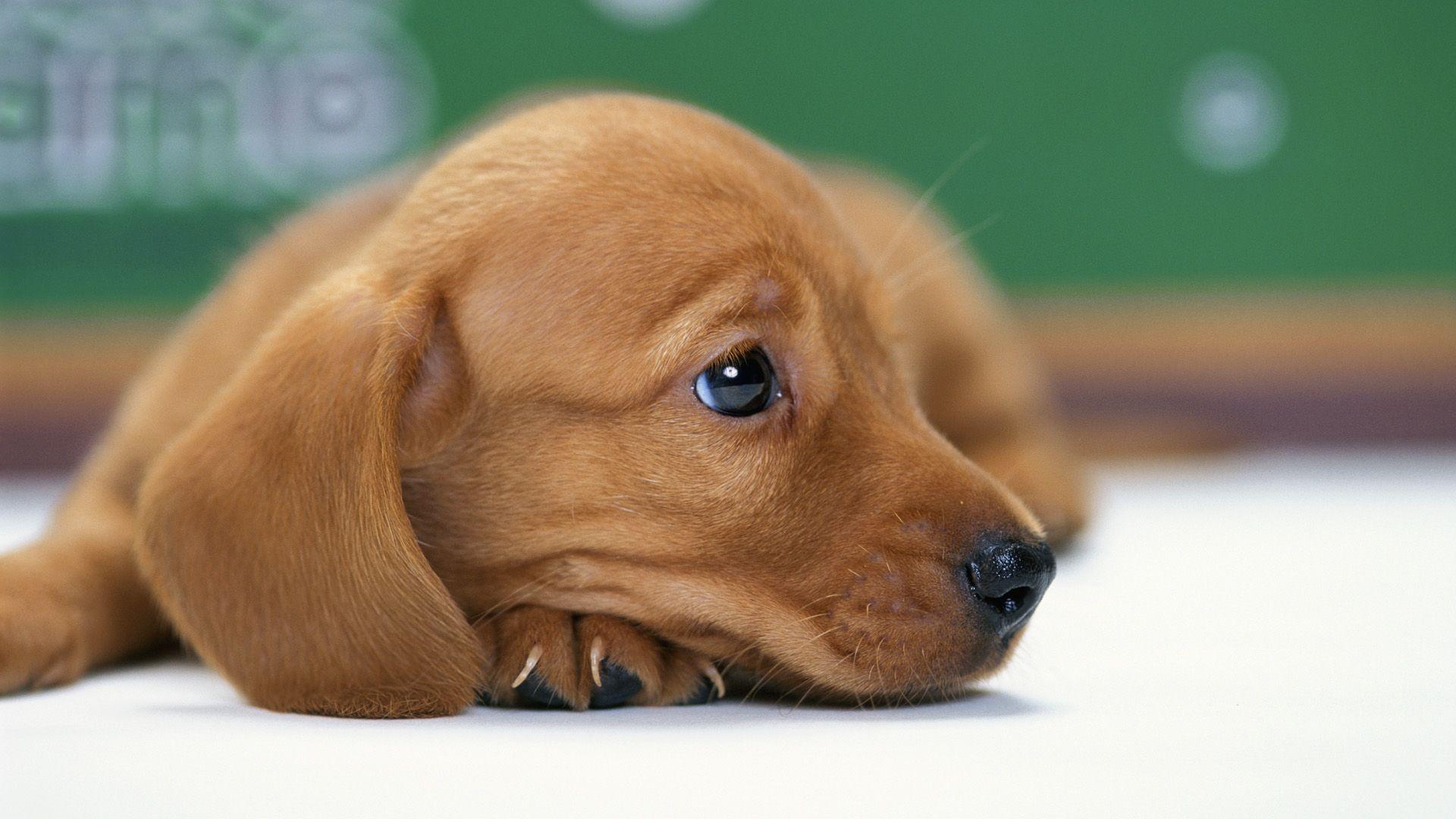 Miniature Dachshund Puppy wallpapers HD free