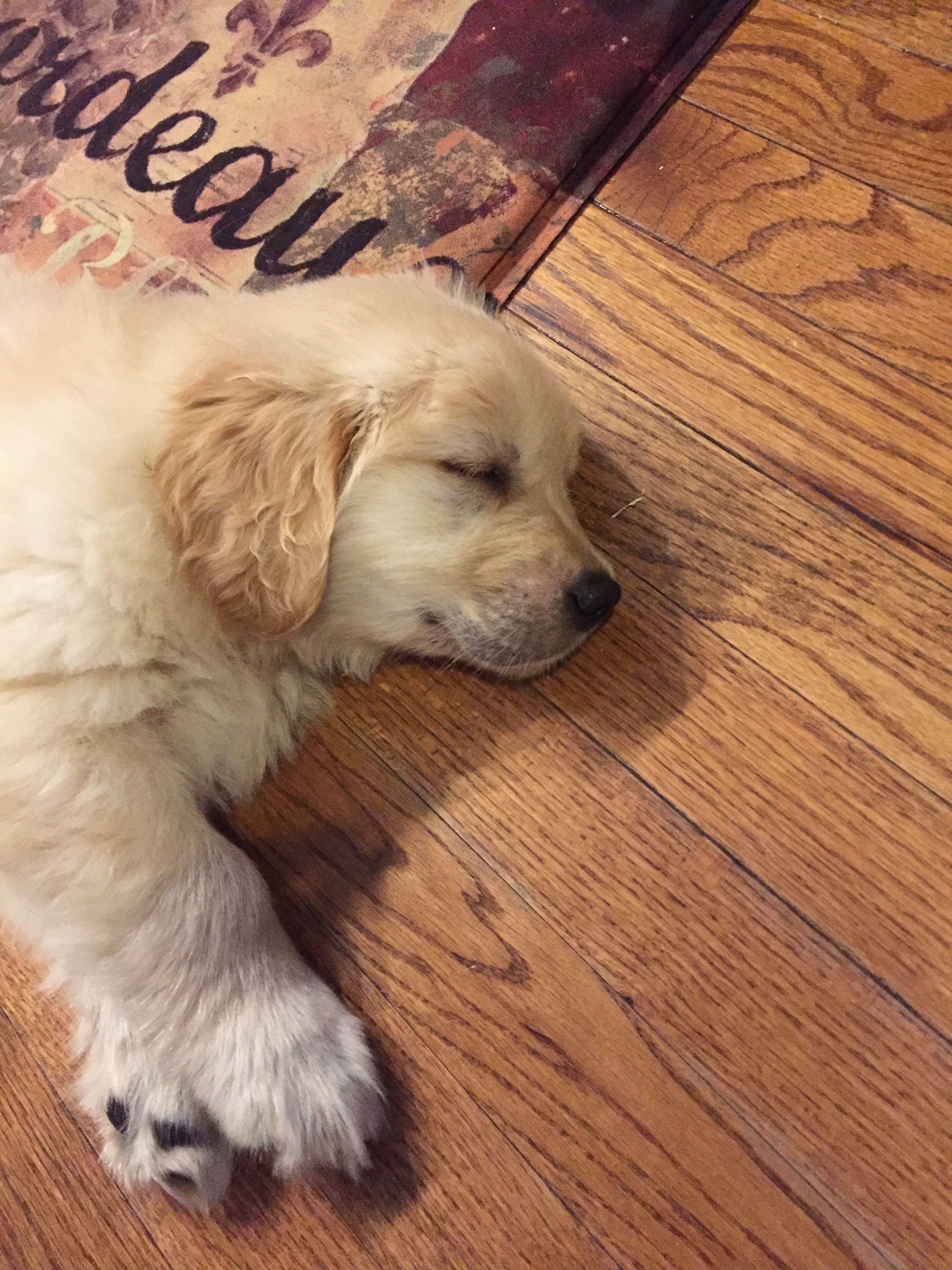 Goldenpuppy Retriever Puppy