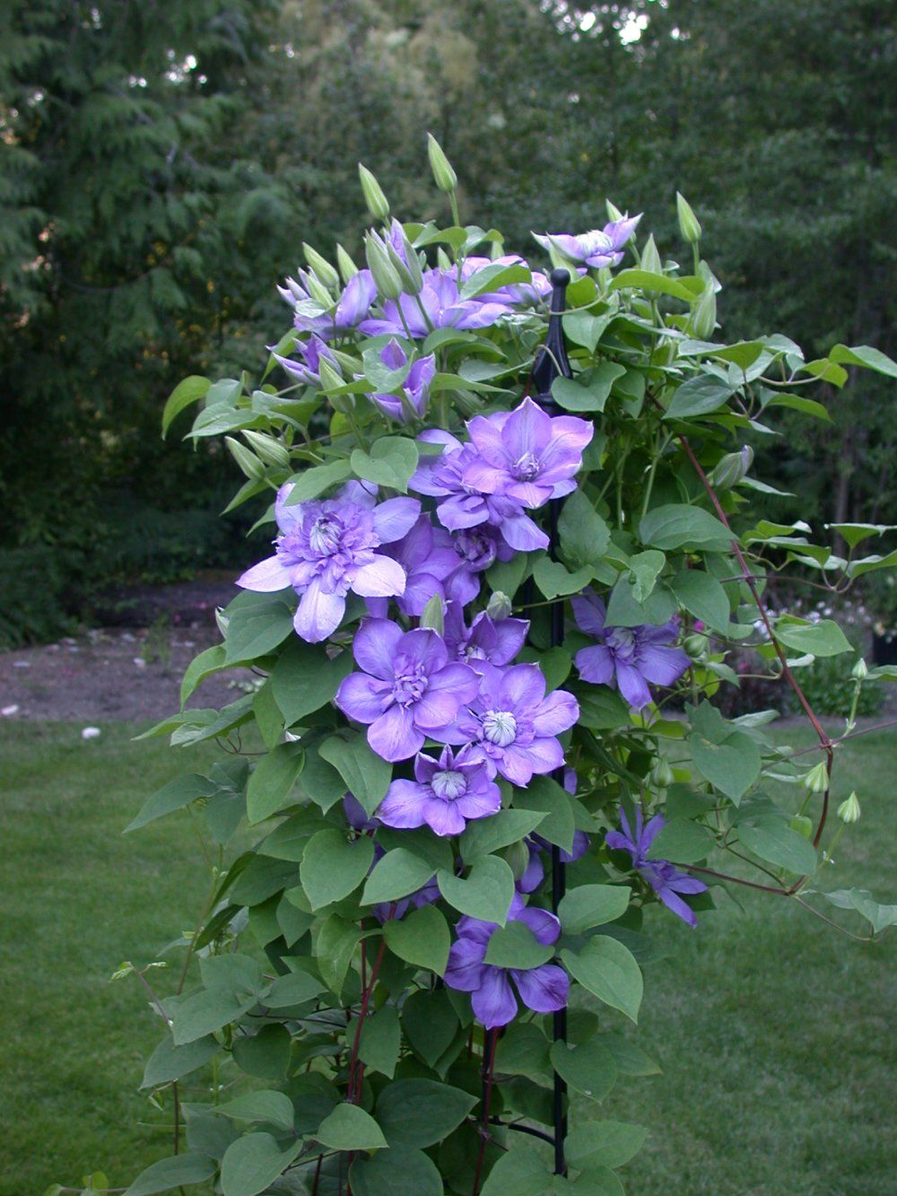 Blue Light Clematis Flowering Vine Flowers To Grow