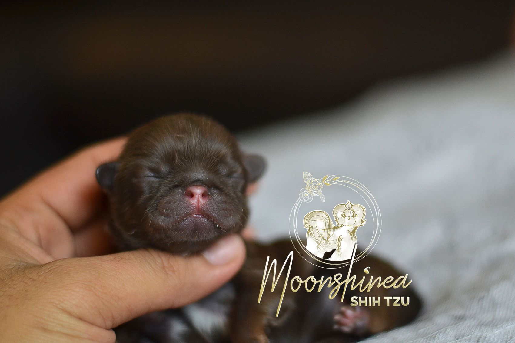 Newborn Chocolate Shih Tzu Philippines Shih Tzu Dogs Newborn
