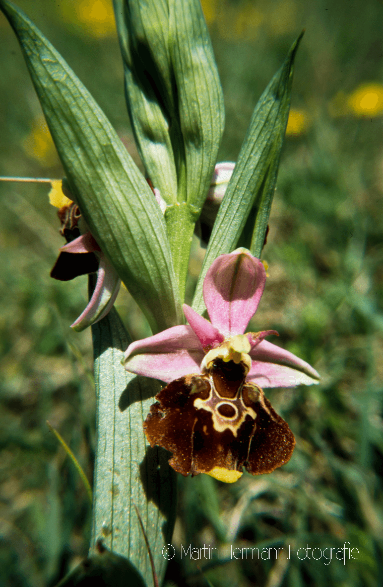 Hummel-Ragwurz-Ophrys-holoserica-(Neuffen-Mai-1989)