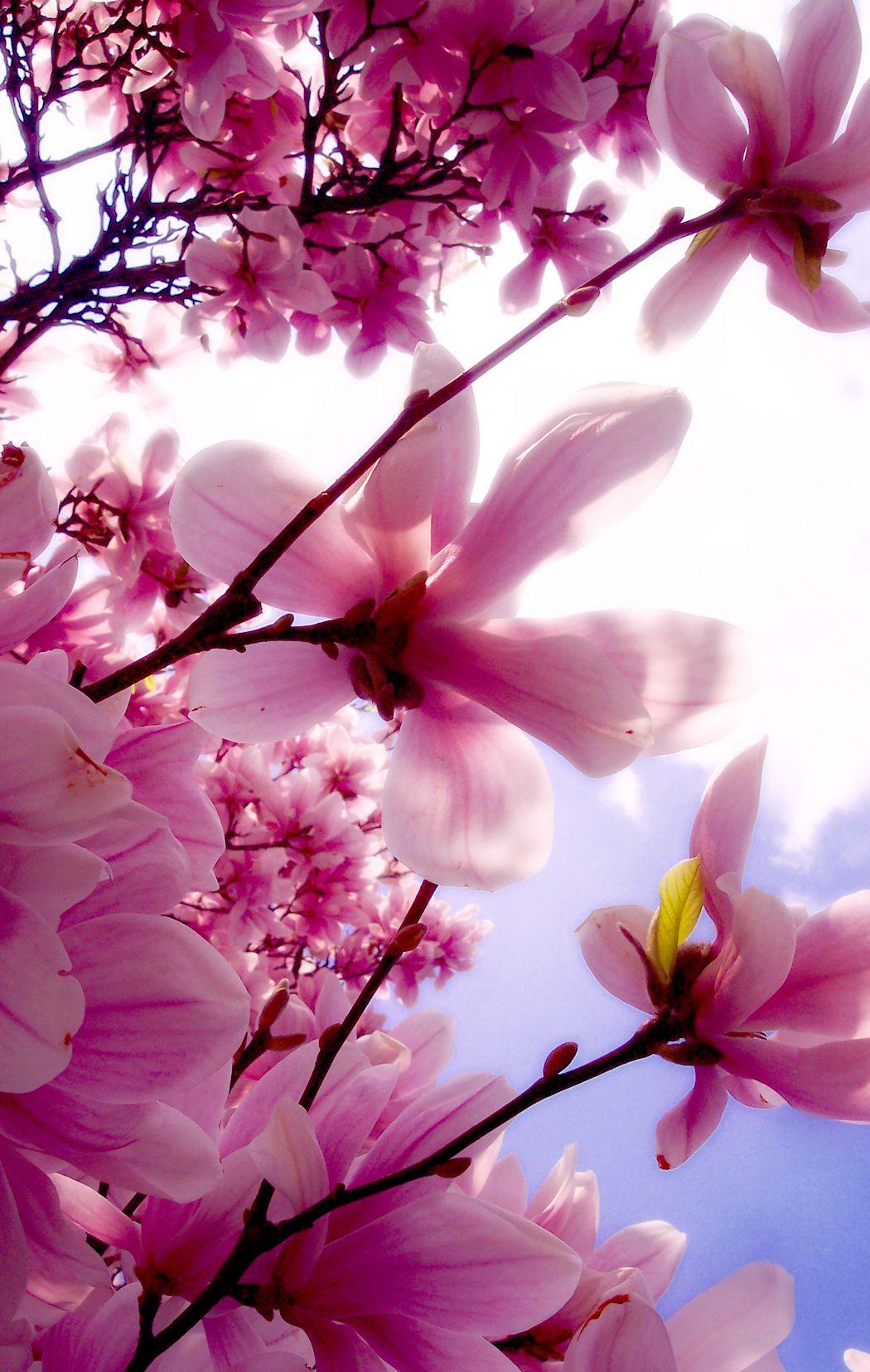 Magnolias Blüten Traum Pinterest Magnolia Flowers and Flower