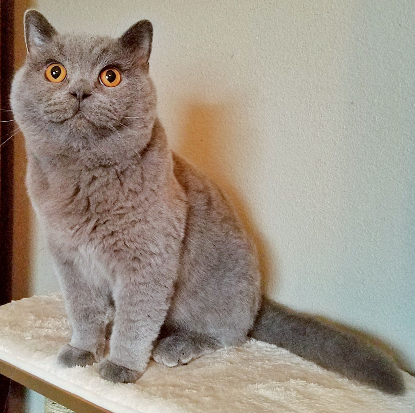 Adopt Ash on British shorthair, Cats, South texas