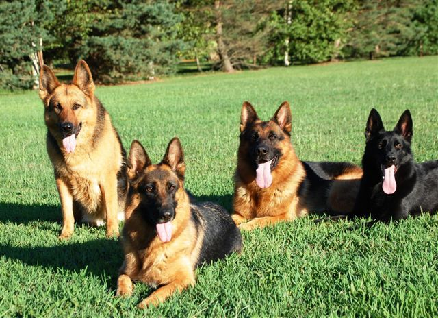 Royale Shepherds Michigan German Shepherd Breeder German Shepherd Breeders Beautiful Dogs German Shepherd