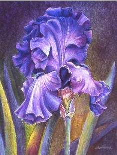 Debut My First Drawing In Colored Pencil Mary Ann Staff Folk Art Flowers Iris Art Pencil Drawings Of Flowers