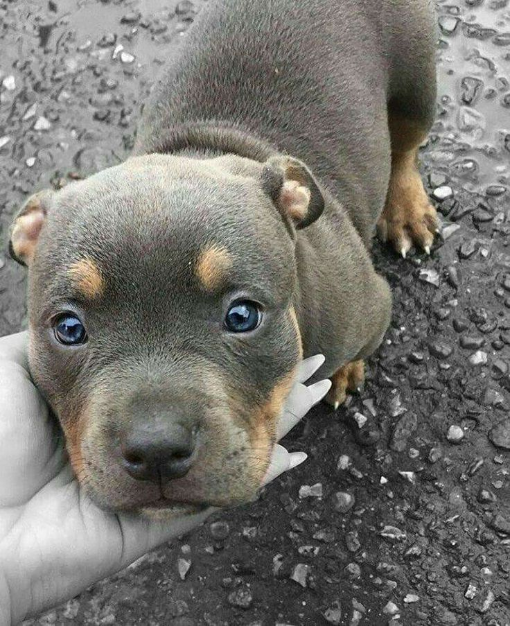 This Pitbull Puppy S Markings Are Adorable And It S Face Is