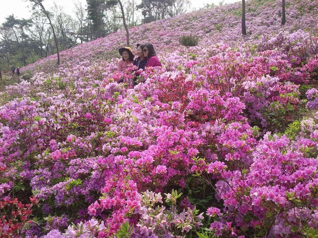 Azaleas in bloom | #Ganghwa Island, Korea (May 5, 2013)