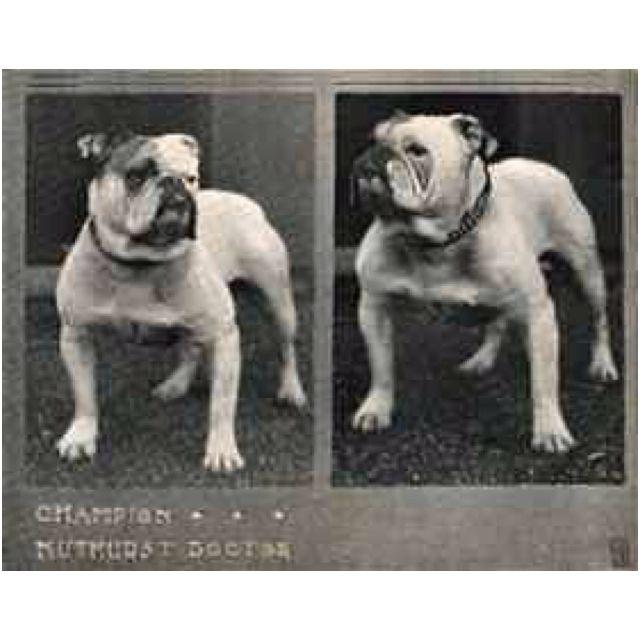 Bulldog Englishbulldog Vintage Bulldog English Bulldog