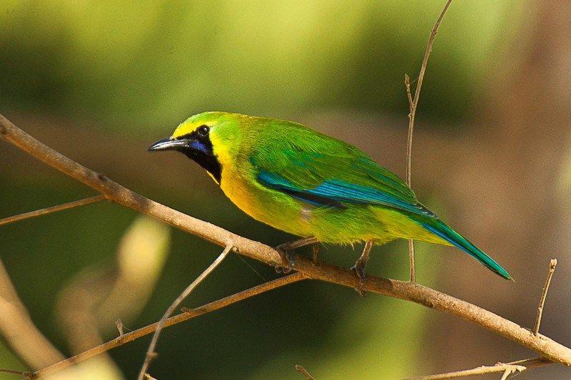 Pin Di 8 Jenis Burung Kicau Paling Populer Di Pulau Jawa Indonesia