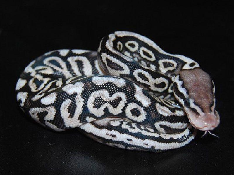 Black Pewter Ball Python Pewter spotnose  amazing