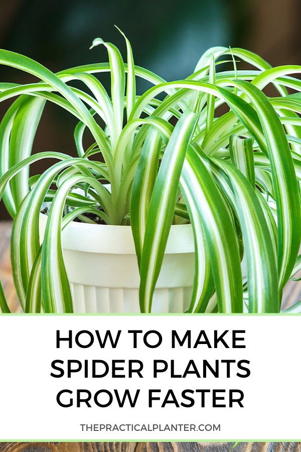 How Fast Do Spider Plants Grow  (Plus Tips to Impact Growth Rate is part of Plants, Spider plants, Plant care houseplant, Plant care, Easy plants, Indoor gardening supplies - So you've purchased your first spider plant  Kudos! Welcome to the illustrious world of spider plants, beautiful green foliage, and cute little spiderettes  With all of the information and your expanding knowledge, I'm sure you are asking yourself many questions  One of those questions is how fast does a spider plant grow  Common Types of