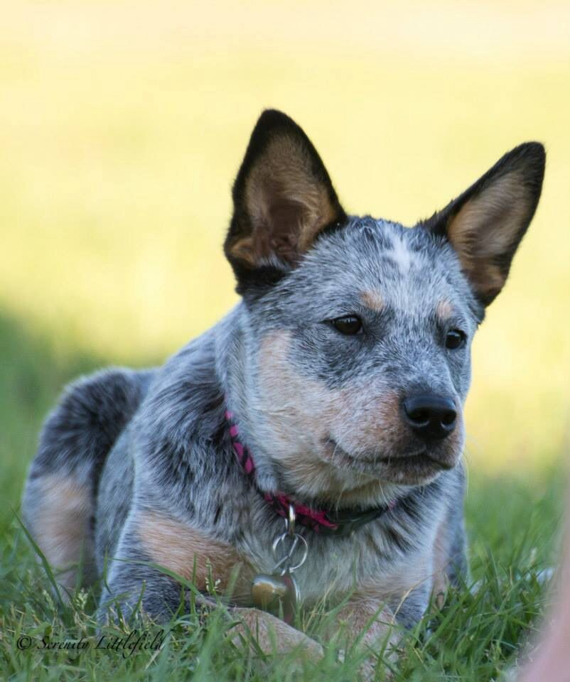 Blue Australian Cattle Dog Puppy Austrailian Cattle Dog Aussie Cattle Dog Blue Heeler Dogs