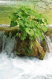 croatia plants - Bing Images