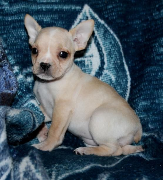 Orpha French Bulldog Mix Puppy For Sale In Stevens Pa