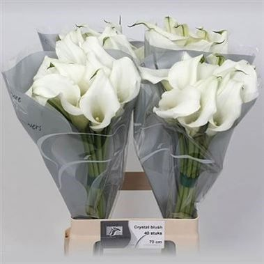 P Calla Lily Crystal Blush Zantedeschia Is A White Arum Type Lily It Is Approx 55cm Wholesaled In Batches Of Florist Supplies Calla Lily Zantedeschia