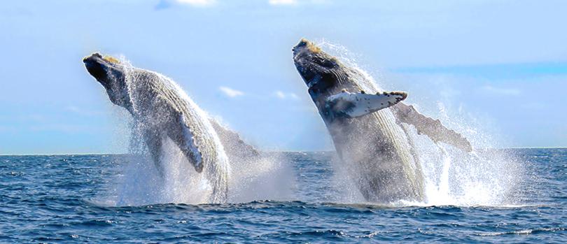 Avistamiento de ballenas en Los Cabos - http://revista.pricetravel.com.mx/lugares-turisticos-de-mexico/2015/11/09/avistamiento-ballenas-los-cabos/