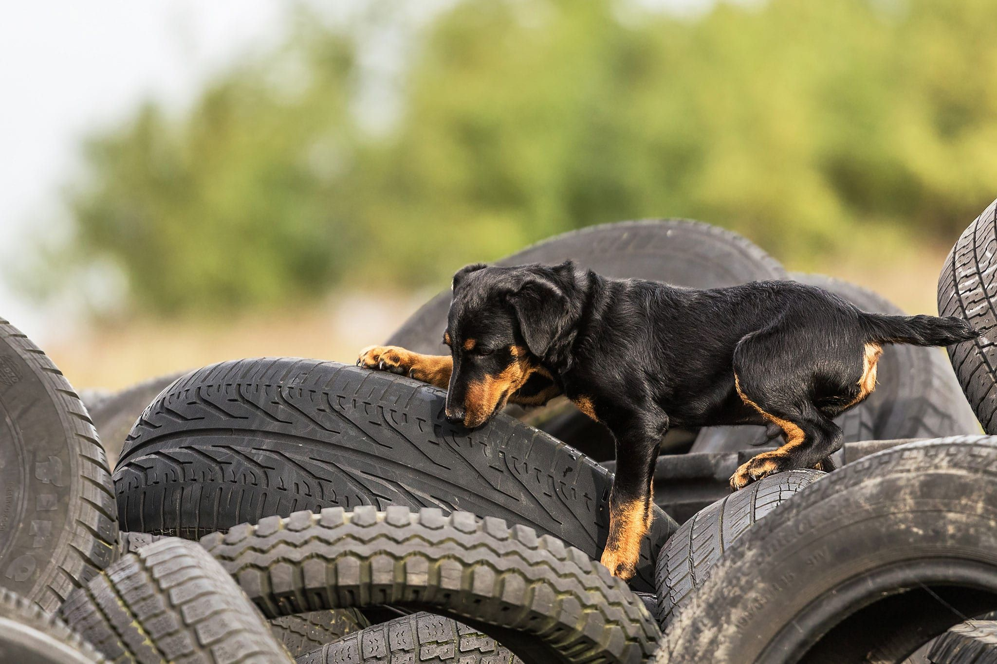 Deutscher Jagdterrier Welpe Rettungshund Hundefotografie Potsdam Hundesport Jagdhund Sophia Zoike Photography Hunde Jagdhunde Rettungshunde