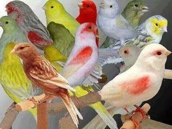 Beautiful Pictures صور جميلة Community Google Canary Birds Pet Birds Animals Beautiful