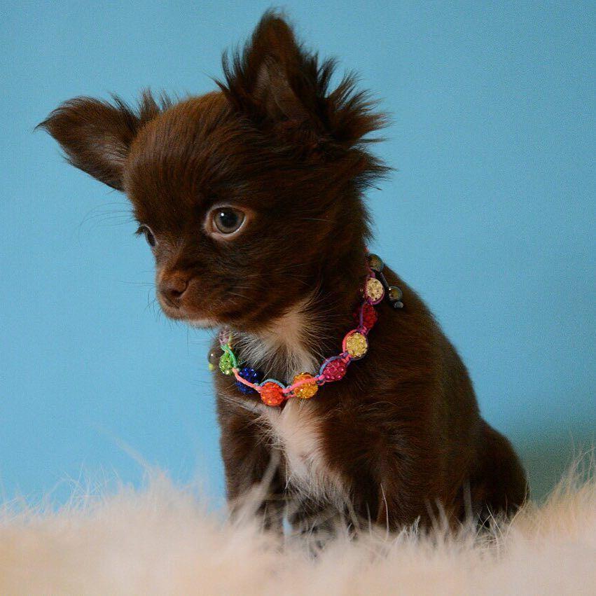 Tea Cup Long Hair Male Chocolate Chihuahua Puppy Chihuahua